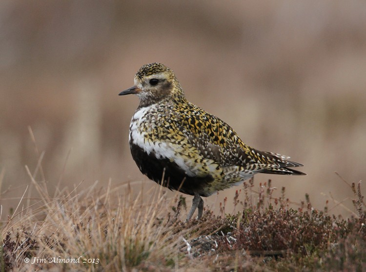 Golden Plover Lochindorb 29 5 13 Img_6368