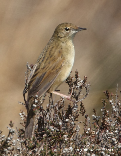 Grasshopper Warbler perched side view Longmynd 24 4 11  IMG_4139