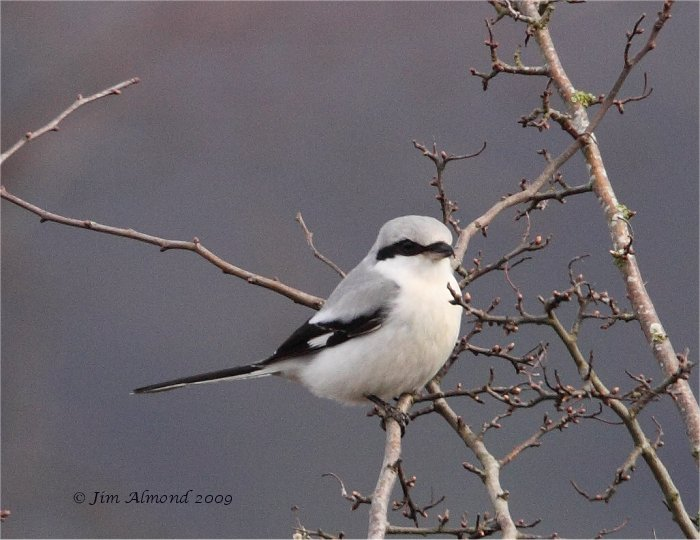 Great Grey Shrike Bircher Common 8 3 09 IMG_2720