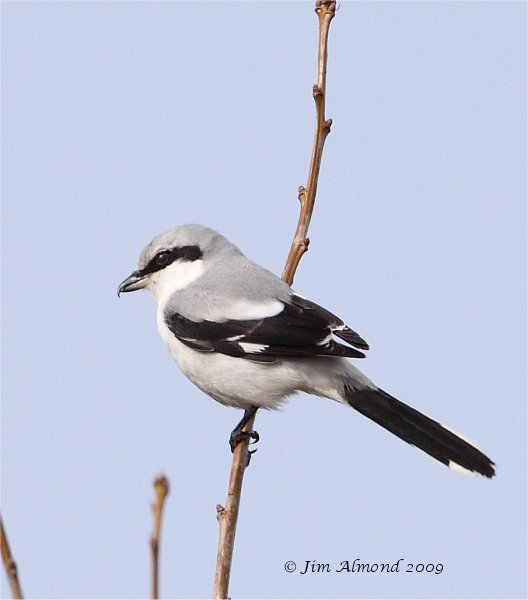 Great Grey Shrike Bircher Common 8 3 09 IMG_2722
