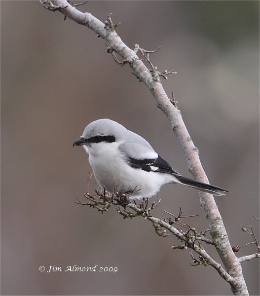 Great Grey Shrike Bircher Common 8 3 09 IMG_2734