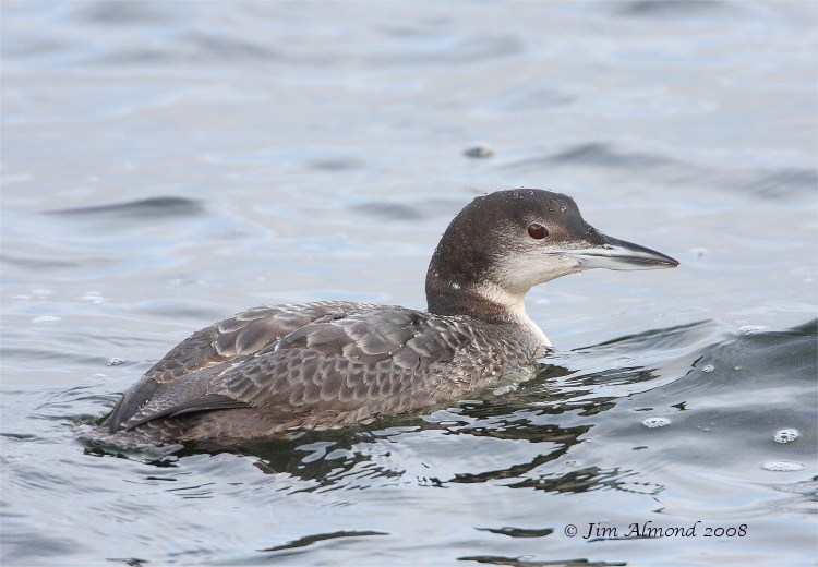 Great Northern Diver Chasewater 5 3 08 IMG_9734