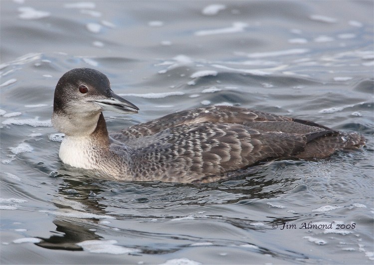 Great Northern Diver Chasewater 5 3 08 IMG_9758