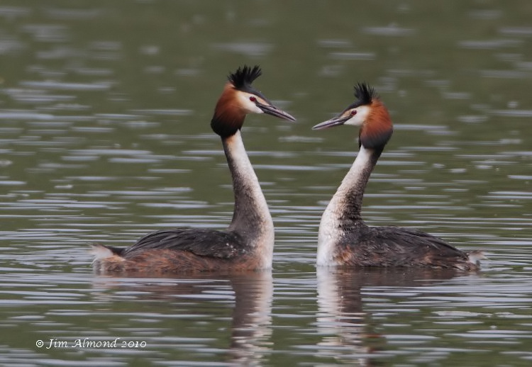 Great crested Grebe pair mirror dance VP 10 5 10 IMG_6915