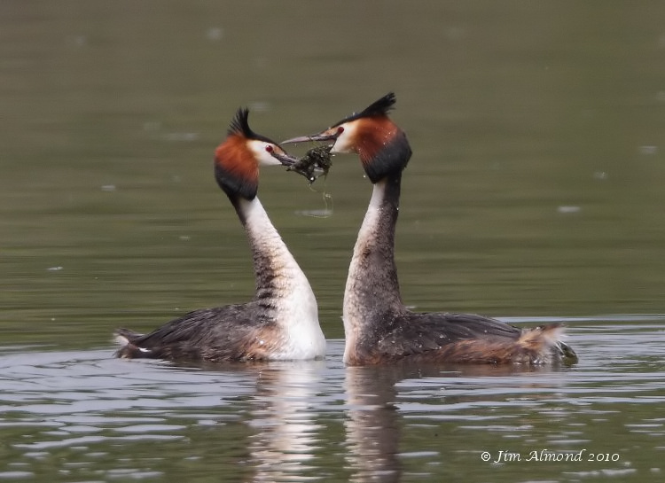 Great crested Grebe pair weed dance VP 10 5 10  IMG_6946