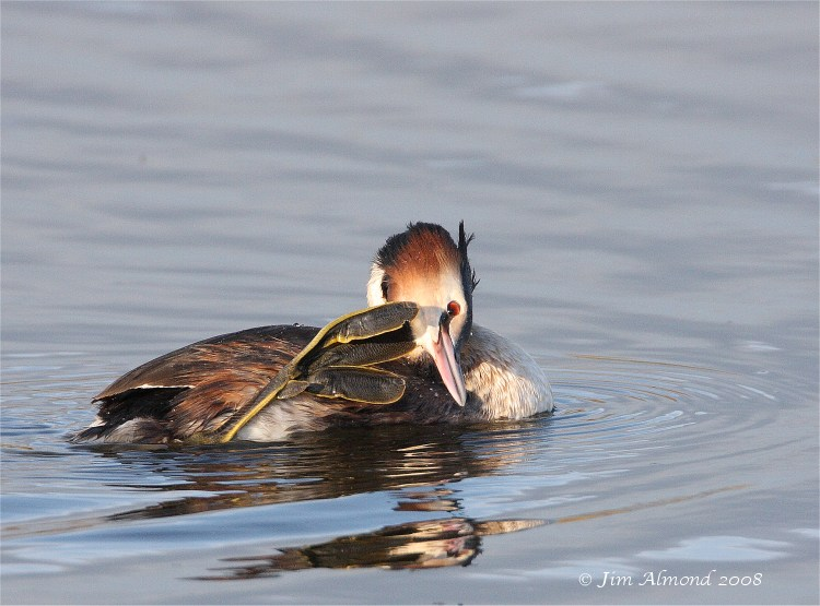 Great crested Grebe scratching VP 4 3 08 Raw edit IMG_9723