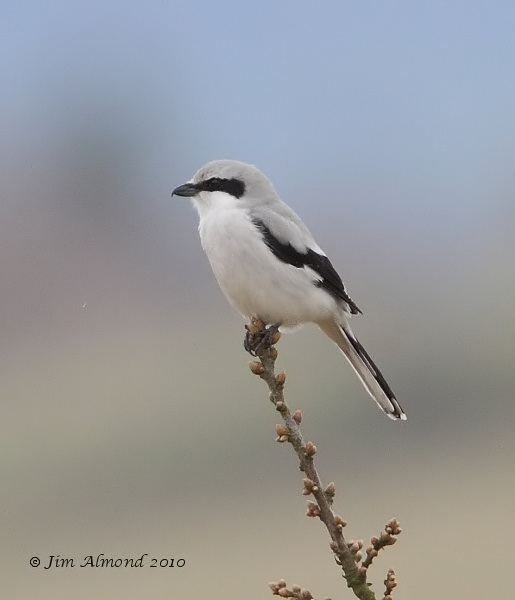 Great grey Shrike Hopsay Hill 28 3 10  IMG_0387