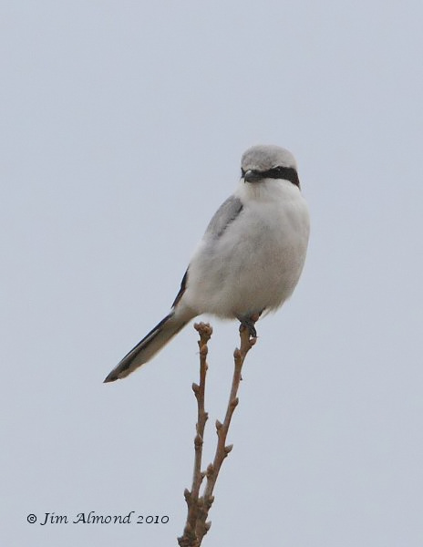 Great grey Shrike Hopsay Hill 28 3 10  IMG_0389