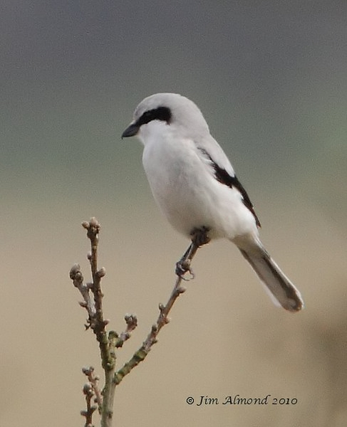 Great grey Shrike Hopsay Hill 28 3 10 MG_0363 1_filtered