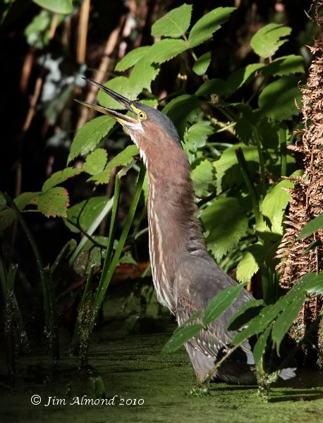 Green Heron catching dragonfly  bill open Heligan 16 10 10  IMG_2832