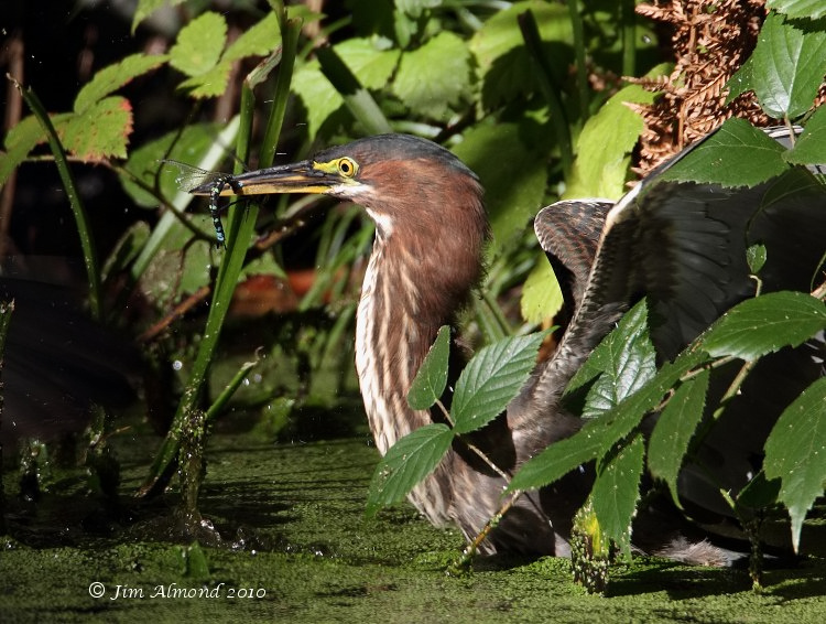 Green Heron dragonfly in bill  Heligan 16 10 10 IMG_2793
