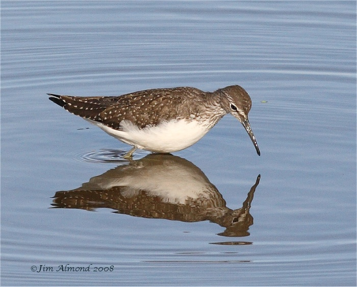 Green Sandpiper reflection VP 24 8 08  IMG_9791