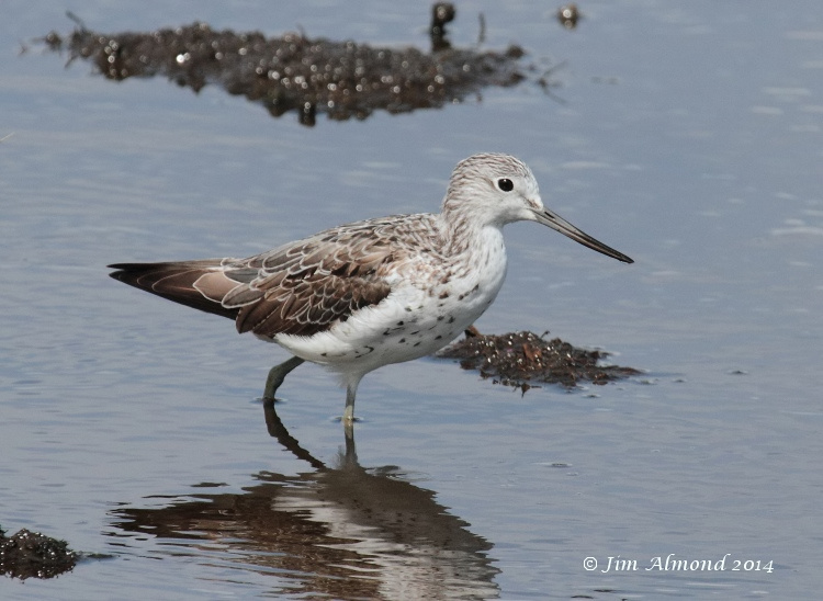 Greenshank adult Higher Moors  Scilly 11 8 14  IMG_4036
