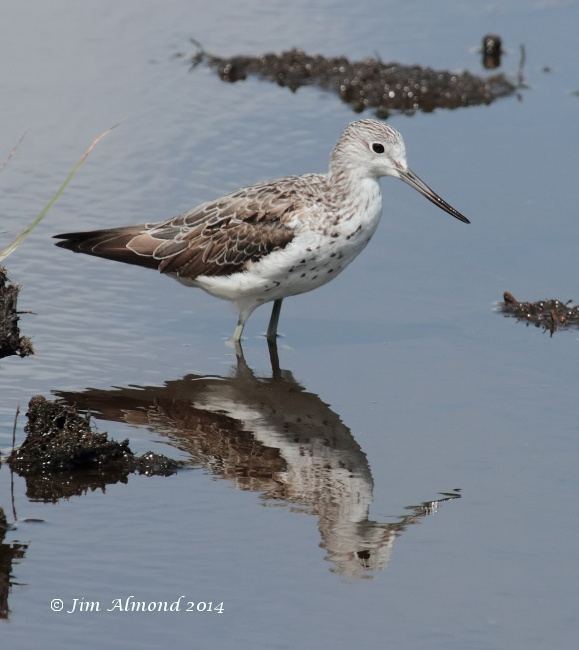 Greenshank adult reflection Higher Moors  Scilly 11 8 14 IMG_4022