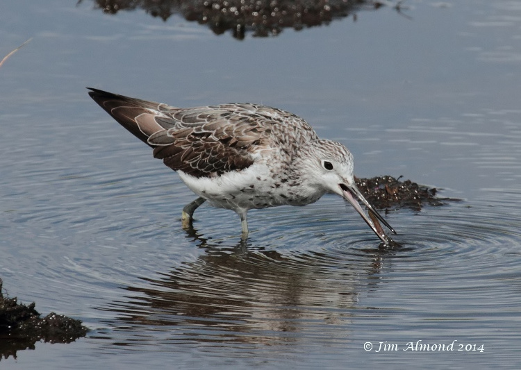 Greenshank adult with worm Higher Moors  Scilly 11 8 14  IMG_4028