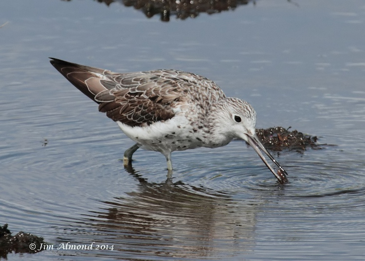 Greenshank adult with worm Higher Moors  Scilly 11 8 14  IMG_4031