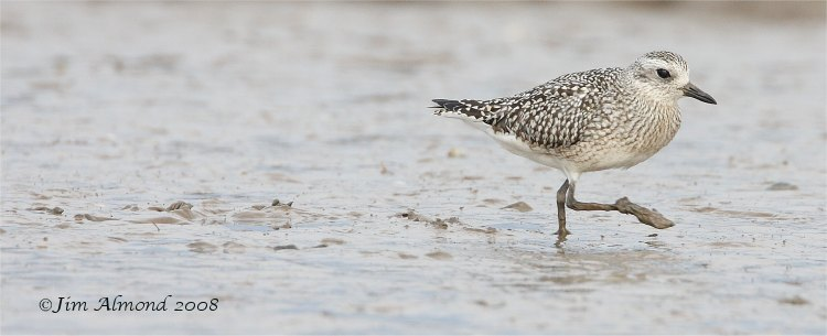 Grey Plover Thornham 19 10 08  IMG_4571