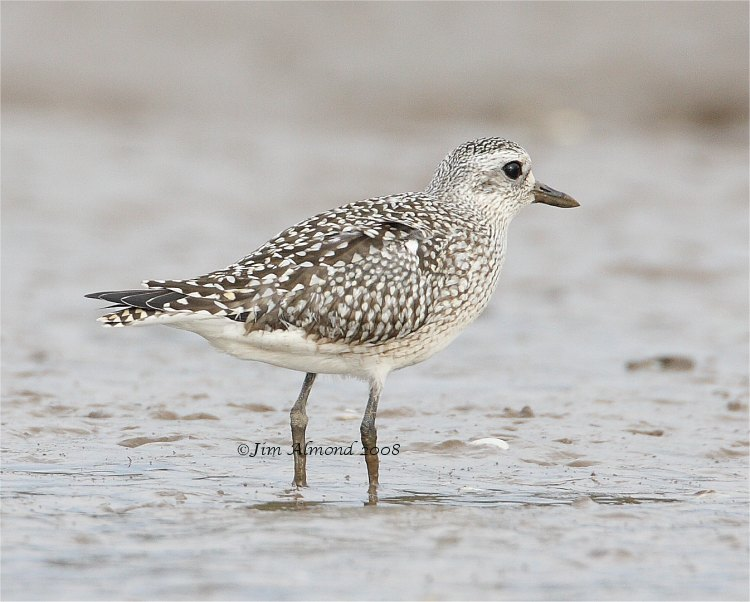 Grey Plover Thornham 19 10 08  IMG_4575