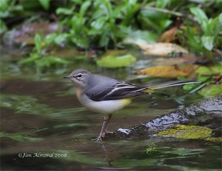 Grey Wagtail Longnor 13 10 08 IMG_2939_filtered