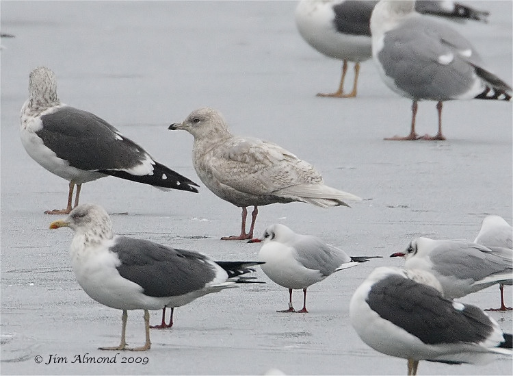 Iceland Gull 2nd Winter Priorslee 4 1 09 IMG_0586_filtered