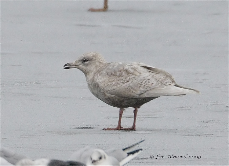Iceland Gull 2nd Winter Priorslee 4 1 09 IMG_0602_filtered