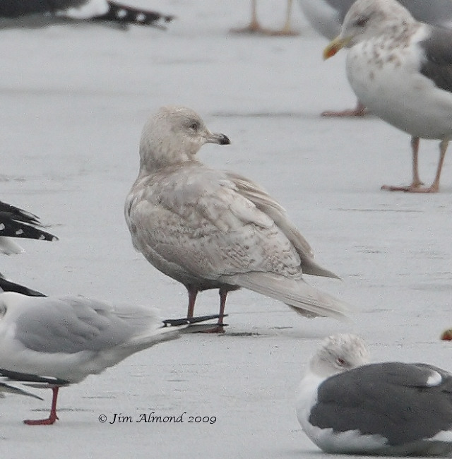 Iceland Gull 2nd Winter Priorslee 4 1 09 IMG_0618_filtered