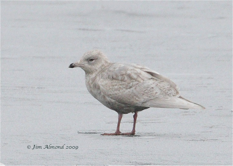 Iceland Gull 2nd Winter Priorslee 4 1 09 Raw edit tif IMG_0604