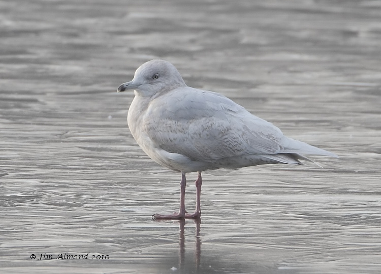 Iceland Gull 2nd Winter Stubbers Green 31 1 11 IMG_6300