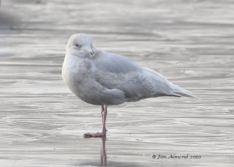 Iceland Gull 2nd Winter Stubbers Green 31 1 11 IMG_6317