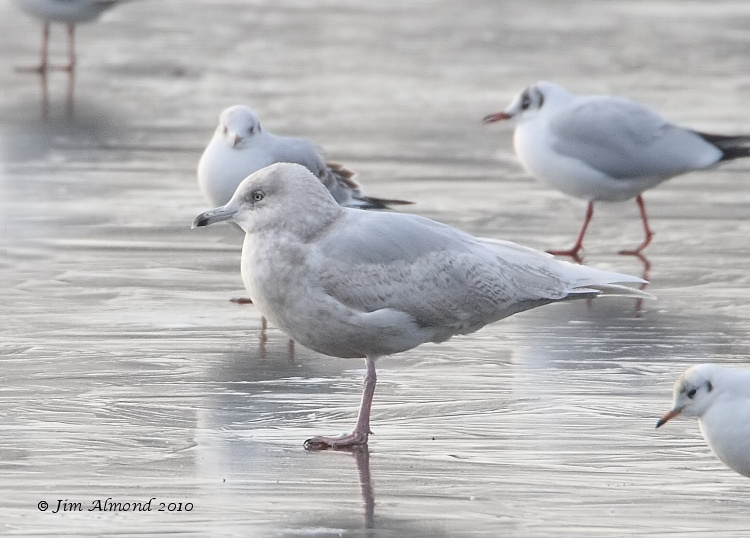 Iceland Gull 2nd Winter Stubbers Green 31 1 11 IMG_6321