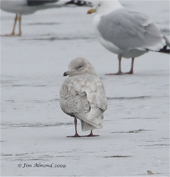 Iceland Gull 2nd Winter rear Priorslee 4 1 09 IMG_0680_filtered