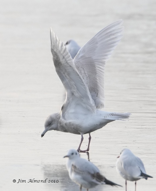 Iceland Gull 2nd Winter wingflap Stubbers Green 31 1 11 IMG_6340