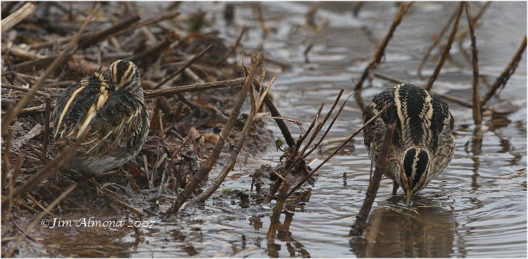 Jack Snipe with Common Snipe