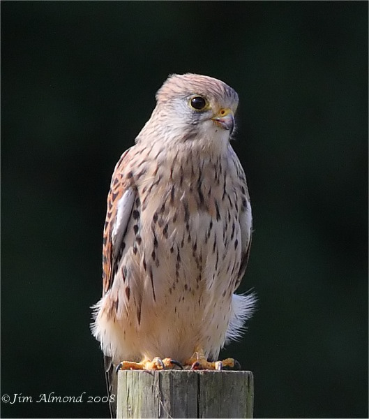 Kestrel female VP 29 9 08 IMG_2556