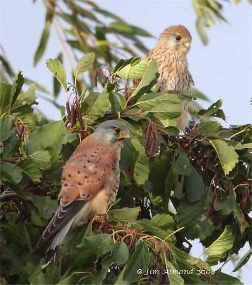 Kestrel pair VP 1 11 09 IMG_7450
