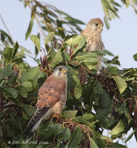 Kestrel pair VP 1 11 09 IMG_7452_filtered