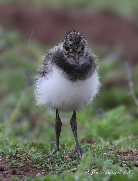 Lapwing chick head on VP 29 5 10  IMG_1482