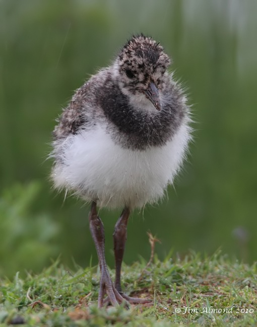 Lapwing chick head on close VP 29 5 10 IMG_1497