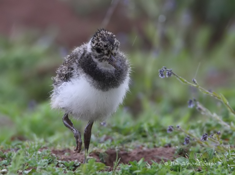Lapwing chick walking VP 29 5 10  IMG_1485