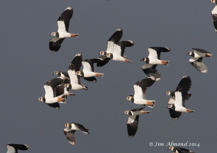 Lapwing flock flight VP 4 3 12  IMG_0760