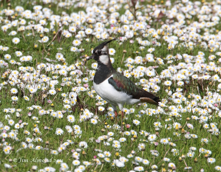 Lapwing in Daisies VP 25  4 11  IMG_4599