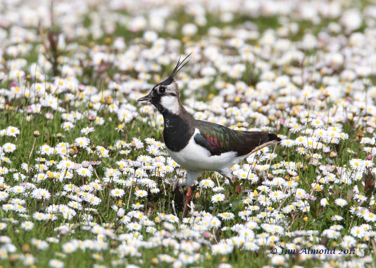 Lapwing in Daisies VP 25  4 11 MG_4471