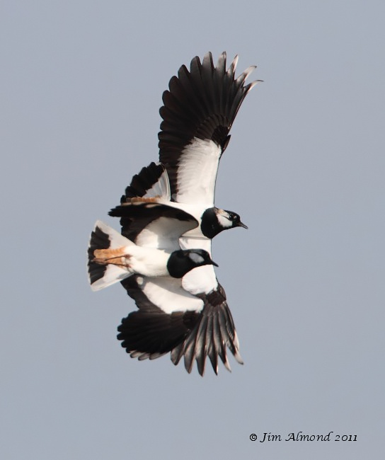 Lapwing pair flight VP 24 3 11  IMG_9677