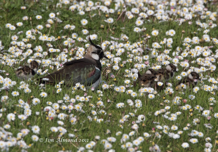 Lapwing with 4 chicks VP 25  4 11  IMG_4706