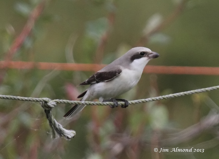 Lesser Grey Shrike on rope closest  Leiston 21 9 13