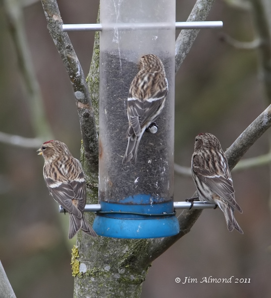 Lesser Redpoll x 3 on feeder Rainton Meadows 9 3 11 IMG_9107