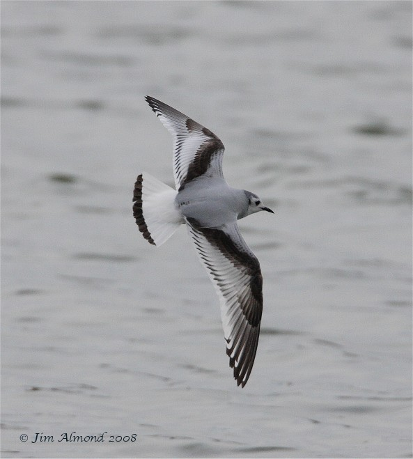 Little Gull 1st Winter Mire lake 23 3 08  IMG_8061