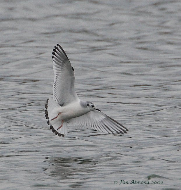 Little Gull 1st winter Mire lake 16 3 08  IMG_7428
