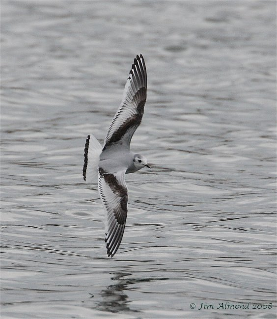 Little Gull 1st winter Mire lake 16 3 08  IMG_7465