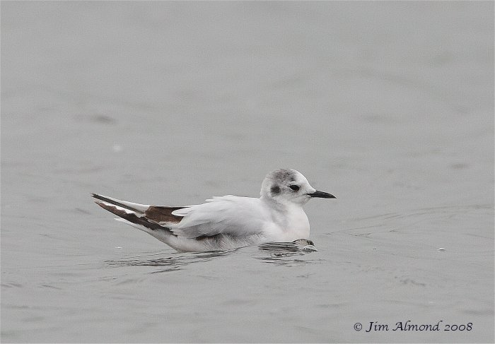 Little Gull Seahouses 13 5 08 Raw edit IMG_3267